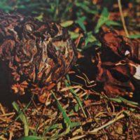 Грибы строчок съедобные или нет? Гриб строчок гигантский и строчок обыкновенный – ядовитые грибы. Где и когда произрастают грибы строчки. Как выглядит гриб строчок обыкновенный и гигантский: описание гриба и фото.