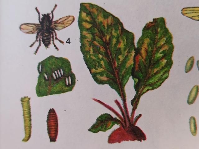 Свекловичная минирующая муха: фото, описание и меры борьбы