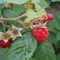 Пурпуровая пятнистость малины: описание и меры борьбы