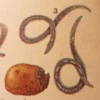 Стеблевая нематода картофеля: меры борьбы
