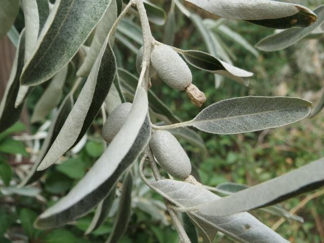дикая маслина лечебные