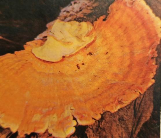 трутовик серно-желтый фото