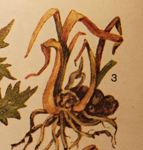 бактериальная гниль корневищ