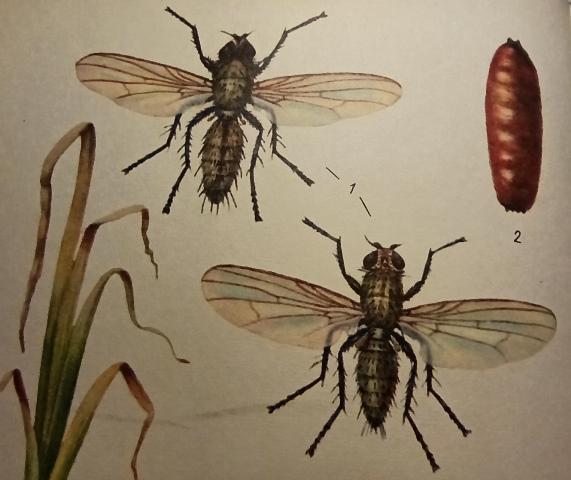 луковая муха борьба