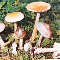 поплавок серый гриб