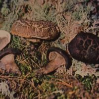 фото грибов ежовиков