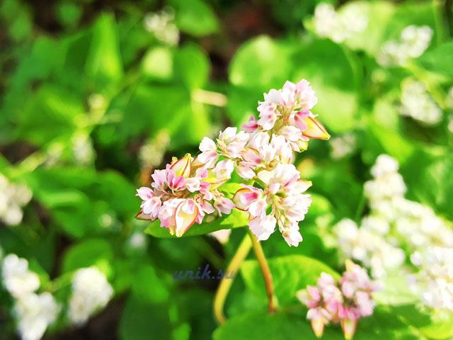 цветение гречихи